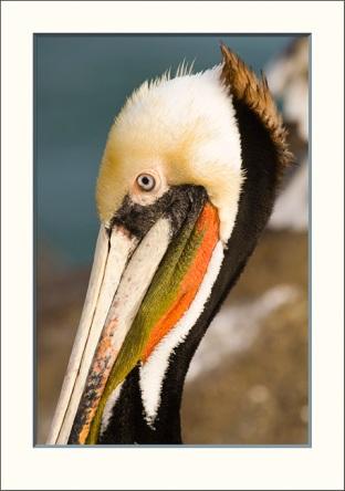 Signature pelican